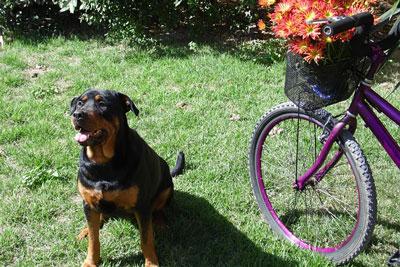 Hund og cykel