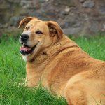 Pas på din hund ikke bliver for fed