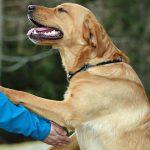 Sådan træner du din hund til ikke at hoppe op