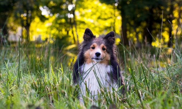 Shetland Sheepdog – Den intelligente Sheltie