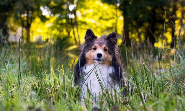 Shetland Sheepdog – Den intelligente Sheltie