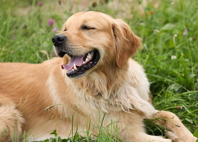 Race: Golden Retriever