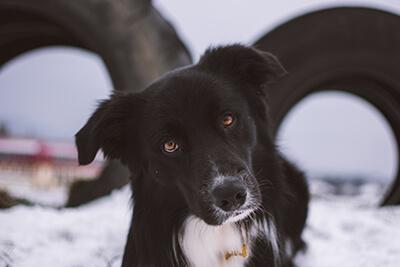 Hund og øjenkontakt