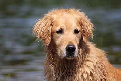 Våd Golden Retriever