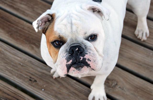 engelsk bulldog hvalp