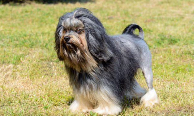 Den lille Løvehund – Löwchen
