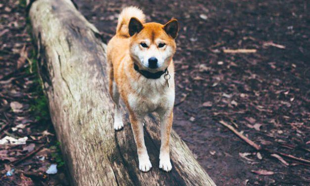Træn dogparkour og få en mere selvsikker hund