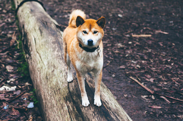 Dogparkour i skoven