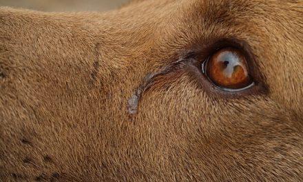 Hundesyge – Den alvorlige virussygdom