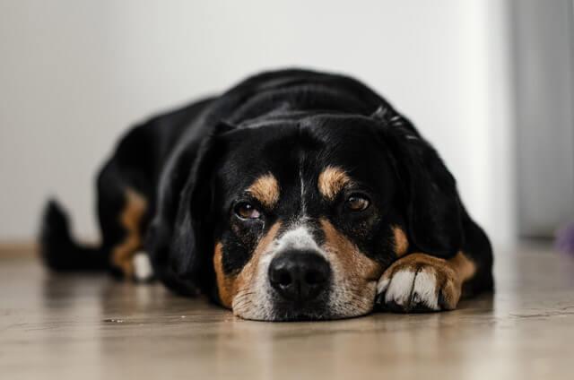 Parvovirus hos hund