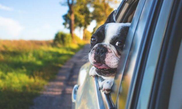 Hund i bilen – Sådan sikre du din hund bedst