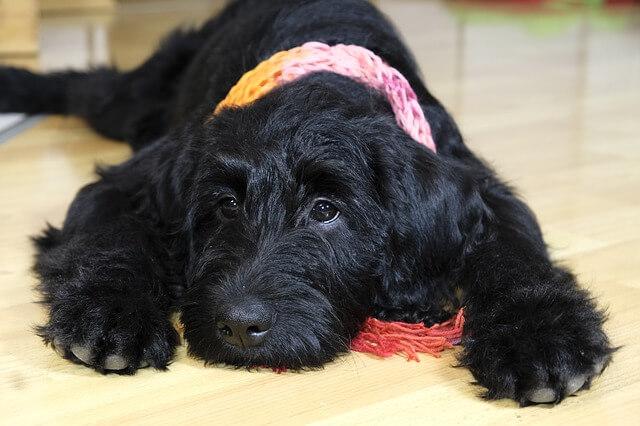 Hund med kennelhoste