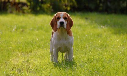 Beagle – Den sociale jagthund