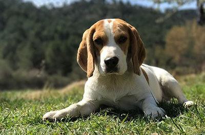 Jagthunden Beaglen