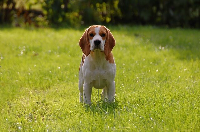 Race: Beagle