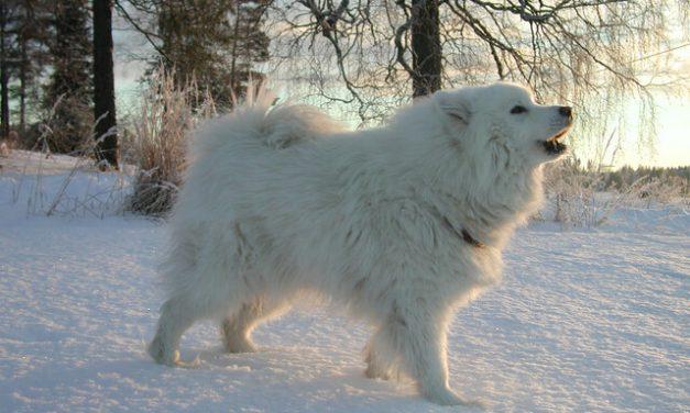 Samojedhund – Den smilende hund
