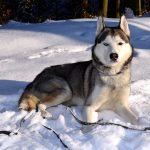 Siberian Husky – Den hurtige slædehund