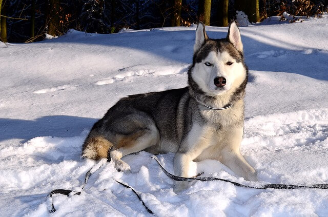 Race: Siberian Husky