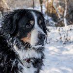 Berner Sennen – Den bamsede heltehund