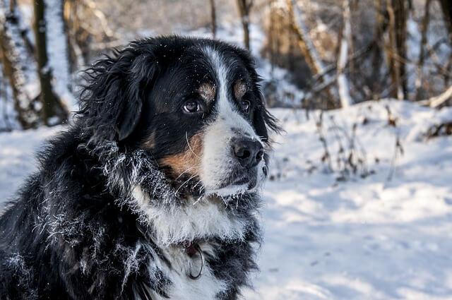 Race: Berner Sennenhund