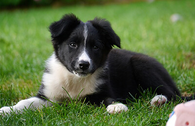 Border Collie hvalp