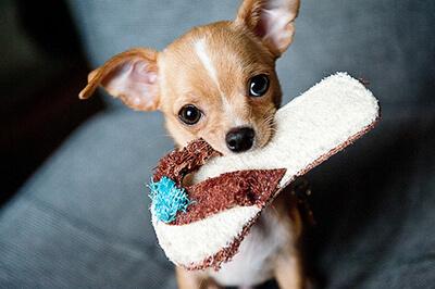 Chihuahua hvalp