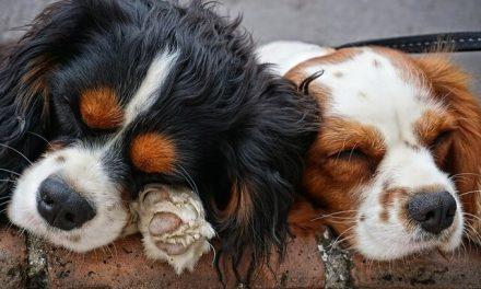 Gode råd inden anskaffelse af hund nummer 2