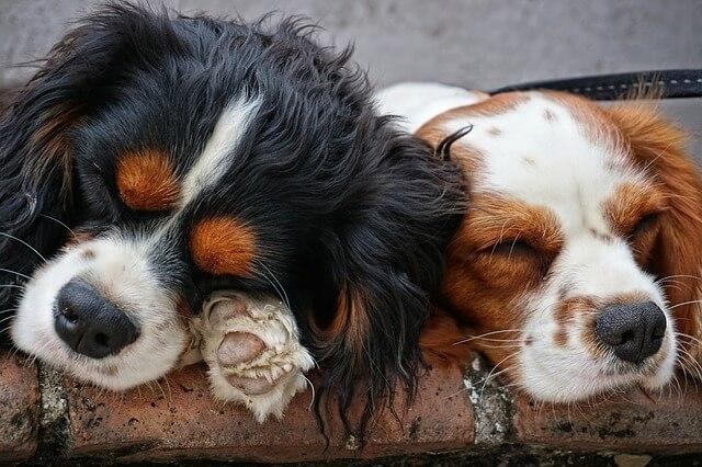 2 hunde sover