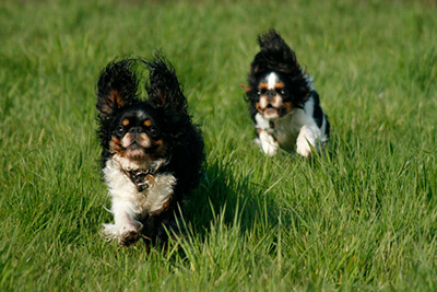 To King Charles Spaniels