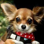 Verdens mindste hunderace – Chihuahua