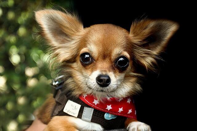Race: Chihuahua - Verdens mindste hunderace