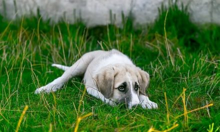 Hvorfor spiser hunde afføring?