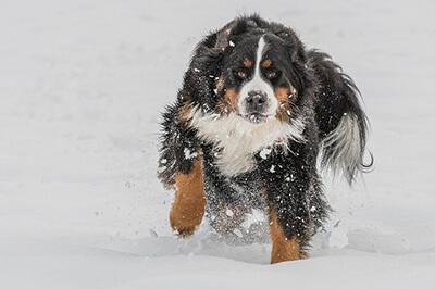 Berner Sennehund i Sneen