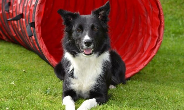 Border Collie – Den energiske hyrdehund