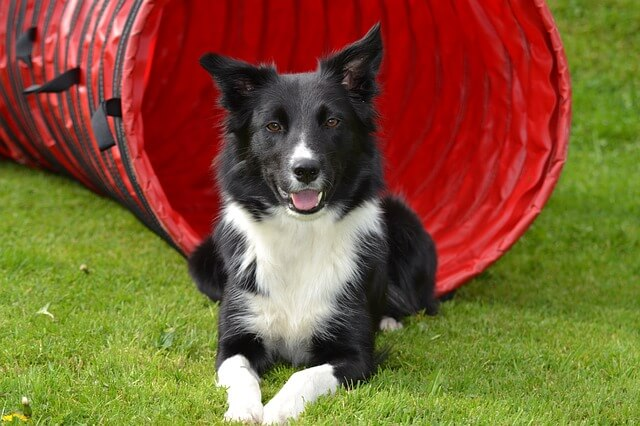 Race: Border Collie