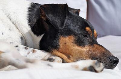 Leptospirose hos hund