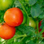 Må hunde spise tomater?