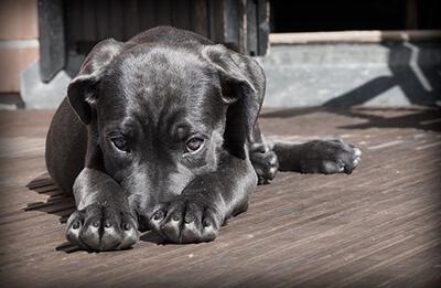 Stuttgarter-hundesyge hos hund
