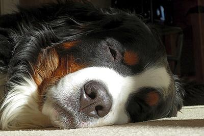 Weilsk-syge hos hund