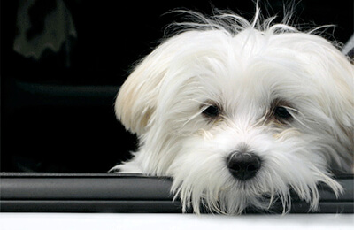 Hvid hund i bil