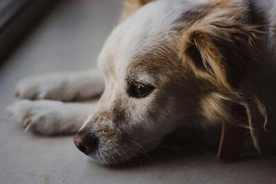 Leverbetændelse hos hund