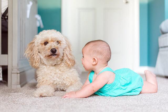 Allergivenlige hunderacer