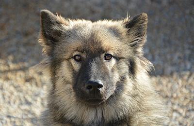 Eurasier til hundetræning