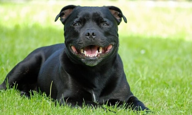 Staffordshire Bull Terrier – Den børneglade hund