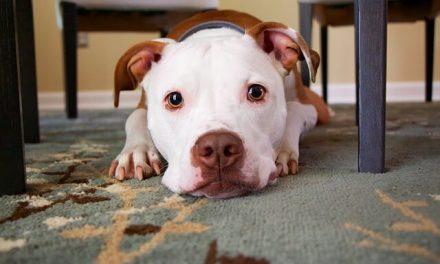 Hvor lang tid er en hund i løbetid?