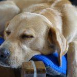 Hvor meget sover en hund?