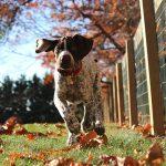 Indkald af hund – Lær din hund at komme, når du kalder