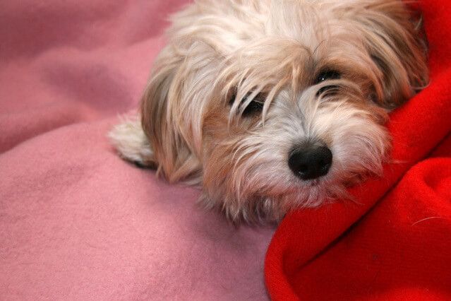 Malassezia hos hund