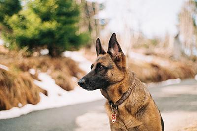 Stockhåret Schæferhund
