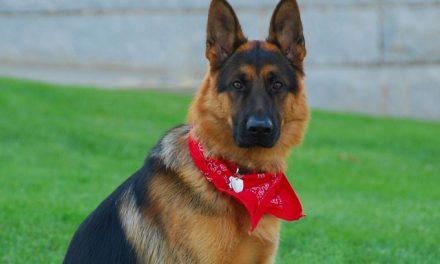 Schæferhund – Den populære brugshund